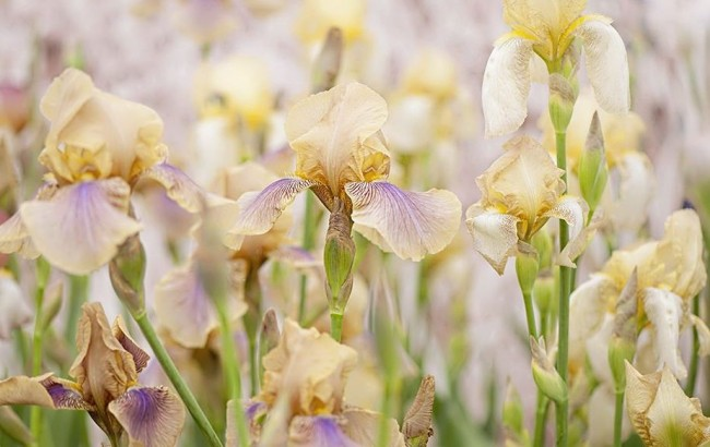 Цветы ирисы нежного бежево-фиолетового цвета
