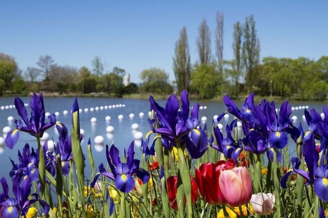 Небесно-синие ирисы прекрасно смотрятся на цветущем лугу на берегу