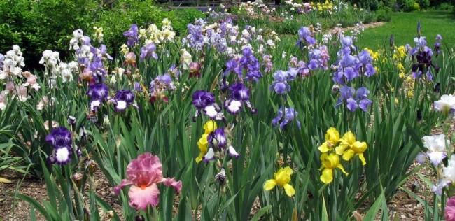 Цветы ирисы - прекрасные цветы, которые украсят собой любой сад
