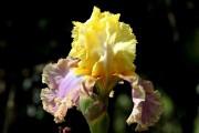 Фото 9 Цветы ирисы (89 фото): виды и их особенности, посадка и уход