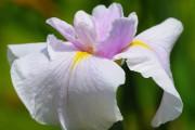 Фото 13 Цветы ирисы (89 фото): виды и их особенности, посадка и уход