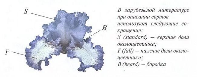 Цветы ирисы - зарубежная схема строения