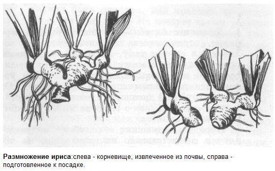 Размножение цветов ирисов