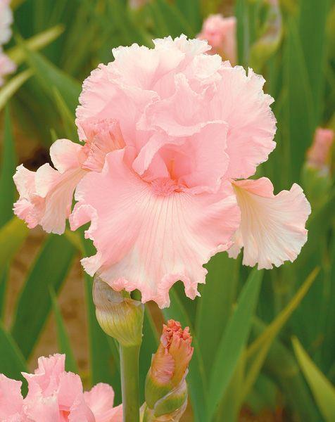 Нежно-розовый ирис
