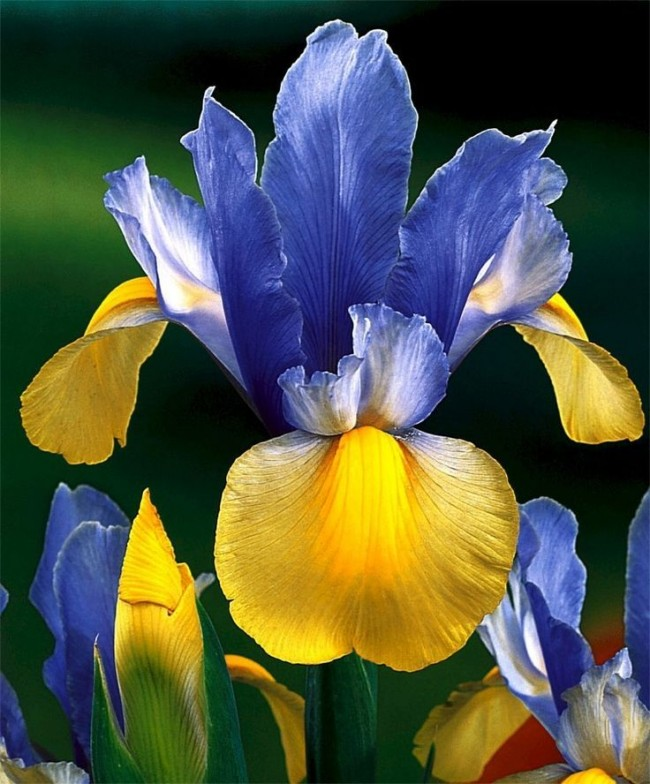 Желто-голубой ирис