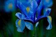 Фото 28 Цветы ирисы (89 фото): виды и их особенности, посадка и уход
