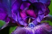 Фото 24 Цветы ирисы (89 фото): виды и их особенности, посадка и уход