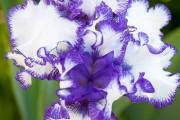 Фото 21 Цветы ирисы (89 фото): виды и их особенности, посадка и уход