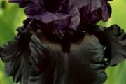Фото 25 Цветы ирисы (89 фото): виды и их особенности, посадка и уход
