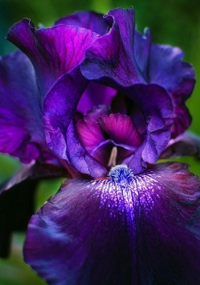 Макросъемка темно-фиолетового ириса
