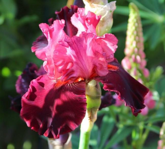Ирис с розовой верхней долей и бардовой нижней долей околоцветника