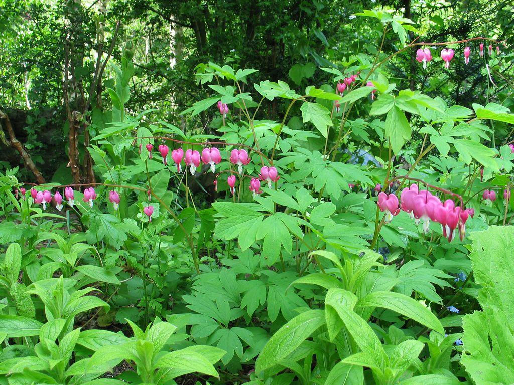 Дицентра выращивание и уход в открытом грунте 2