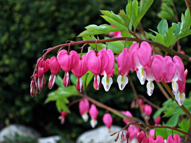 Растение Дицентра известно оригинальными цветами в виде сердечек