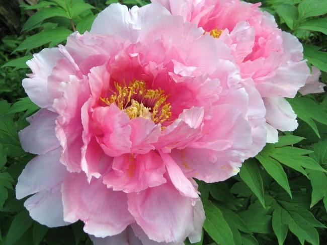 На роскошных кустах пиона формируются крупные ароматные цветы