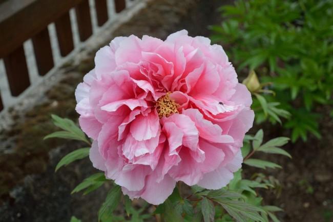 "Пион ""Натали"" с махровыми цветками"