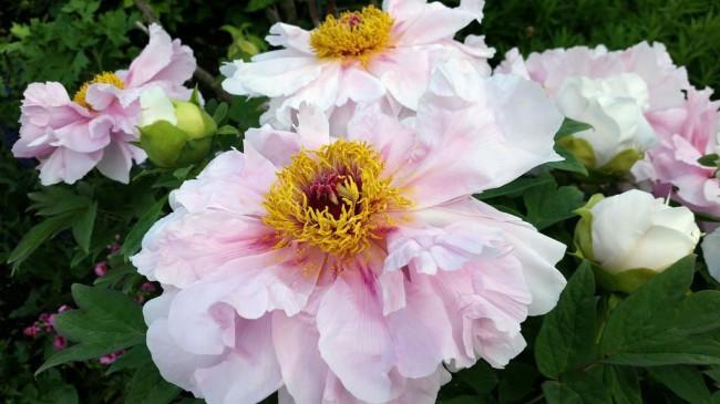 В период цветения, длящегося в течение 2-х недель, на одном растении древовидного пиона может быть более 50 цветков