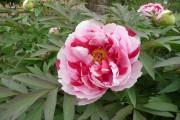 Фото 31 Древовидный пион (57 фото): что нужно знать о посадке и уходе за растением?