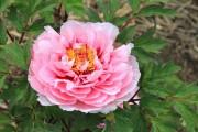 Фото 24 Древовидный пион (57 фото): что нужно знать о посадке и уходе за растением?