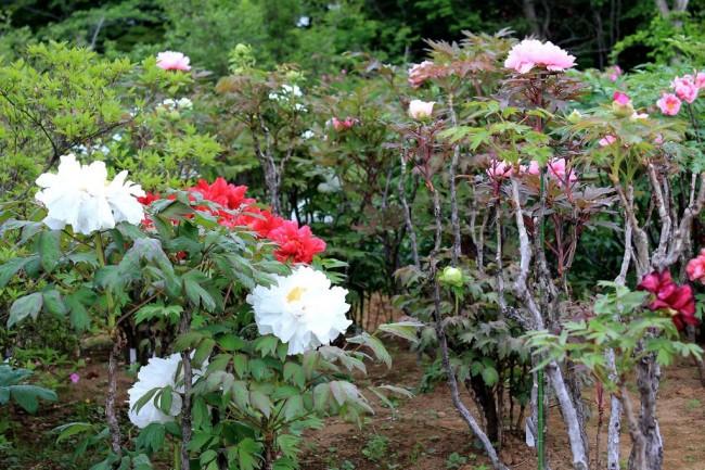 Древовидный пион (57 фото): что нужно знать о посадке и уходе за растением?