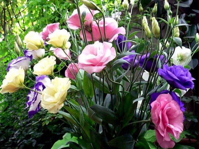 Своевременная обрезка эустомы - залог появления новых веточек и цветков