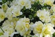 Фото 8 Фрезия (65 фото) — аристократка в вашем саду: посадка, уход, размножение