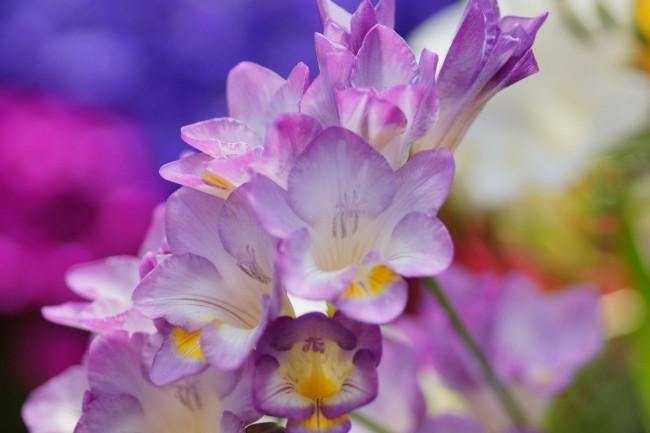 Фрезия - достаточно благодарное и непривередливое растение