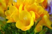Фото 4 Фрезия (65 фото) — аристократка в вашем саду: посадка, уход, размножение
