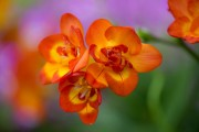 Фото 13 Фрезия (65 фото) — аристократка в вашем саду: посадка, уход, размножение