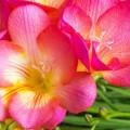 Фрезия (65 фото) — аристократка в вашем саду: посадка, уход, размножение фото