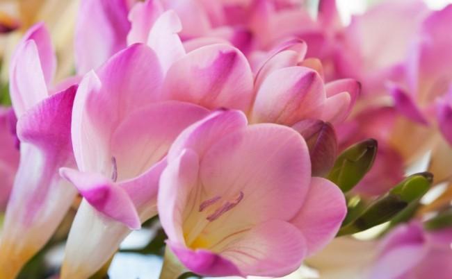 Нежно-розовая фрезия украсит собой любую клумбу или подоконник