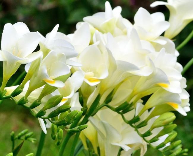 Торжественно-нарядная белая фрезия