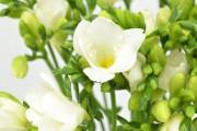 Фото 3 Фрезия (65 фото) — аристократка в вашем саду: посадка, уход, размножение