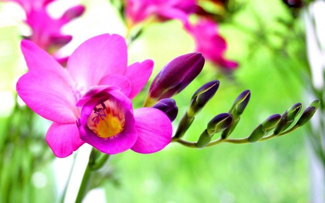 Неприхотливая и роскошная махровая фрезия - идеальный вариант для занятых садоводов