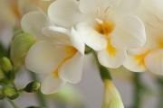 Фото 17 Фрезия (65 фото) — аристократка в вашем саду: посадка, уход, размножение