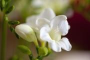 Фото 18 Фрезия (65 фото) — аристократка в вашем саду: посадка, уход, размножение