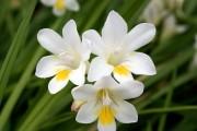 Фото 14 Фрезия (65 фото) — аристократка в вашем саду: посадка, уход, размножение