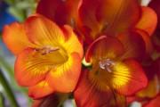 Фото 21 Фрезия (65 фото) — аристократка в вашем саду: посадка, уход, размножение