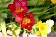 Фото 22 Фрезия (65 фото) — аристократка в вашем саду: посадка, уход, размножение