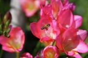 Фото 23 Фрезия (65 фото) — аристократка в вашем саду: посадка, уход, размножение