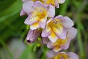 Фото 24 Фрезия (65 фото) — аристократка в вашем саду: посадка, уход, размножение