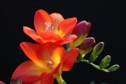 Фото 27 Фрезия (65 фото) — аристократка в вашем саду: посадка, уход, размножение
