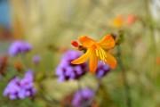 Фото 28 Фрезия (65 фото) — аристократка в вашем саду: посадка, уход, размножение