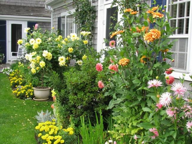 Георгины пользуются большой популярностью среди садоводов