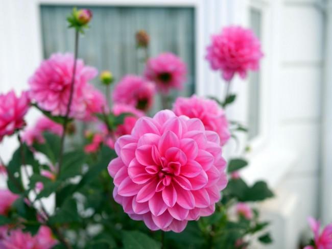 Георгины по своей красоте и яркости соперничают с розами