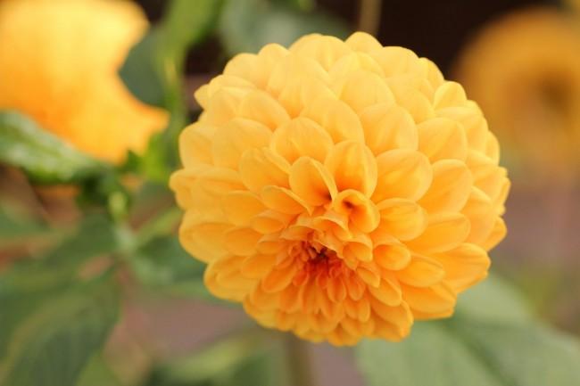 Красивые ярко-оранжевые георгины