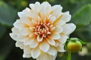 Фото 6 Георгины (65 фото): выращивание и уход за растением
