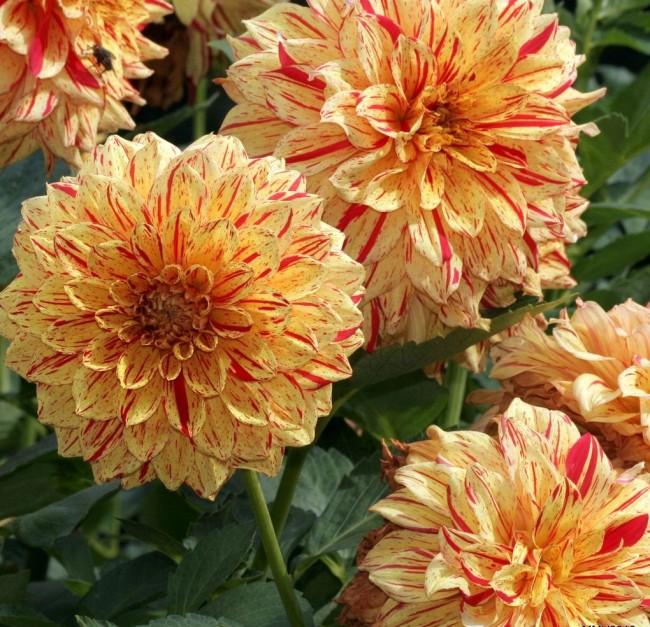 При правильном уходе георгины очень долго цветут
