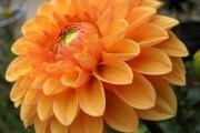 Фото 5 Георгины (65 фото): выращивание и уход за растением