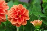 Фото 7 Георгины (65 фото): выращивание и уход за растением