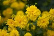 Фото 8 Георгины (65 фото): выращивание и уход за растением